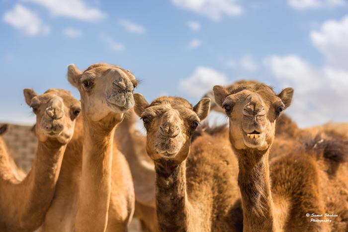 Прогулка на верблюдах в пустыне